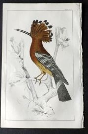 Goldsmith 1851 Hand Col Bird Print. Hoopoe